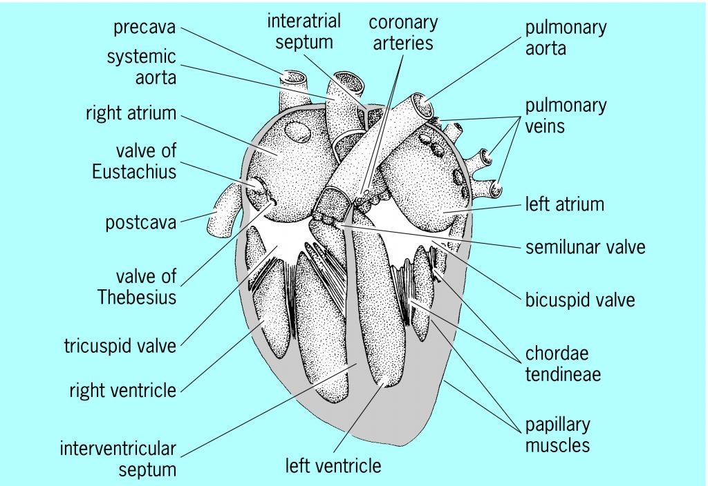 Heart anatomy article about heart anatomy by the free dictionary ccuart Choice Image