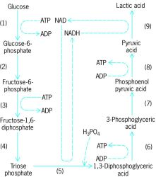Glycolysis in lactic acid fermentation