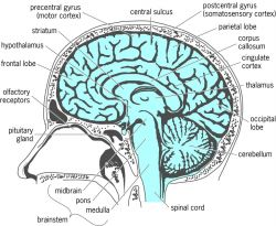 Midsagittal (midline, medial) section through the human brain