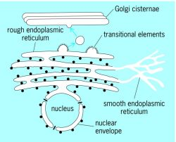Nuclear envelope, connected to the rough and smooth endoplasmic reticulum
