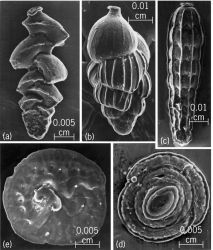 Scanning electron micrographs of foraminiferans of suborder Rotaliina