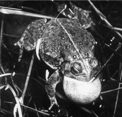 Toad of the genus Bufo giving mating call with vocal sac expanded