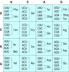 Universal Genetic Code | Article about Universal Genetic Code by The