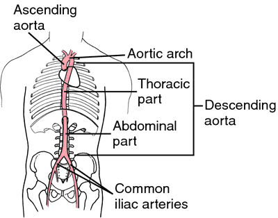 Terminal Aorta Definition Of Terminal Aorta By Medical Dictionary