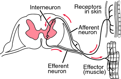 Reflex arc definition of reflex arc by medical dictionary ccuart Gallery