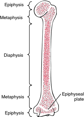 Epiphysis | definition of epiphysis by Medical dictionary