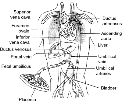 Fetal Circulation Definition Of Fetal Circulation By Medical
