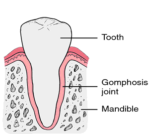 gomphosis joint anatomi