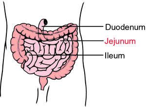 Jejunum | definition of jejunum by Medical dictionary