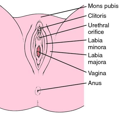 Labia majora et minora pudendi | definition of Labia majora et ...