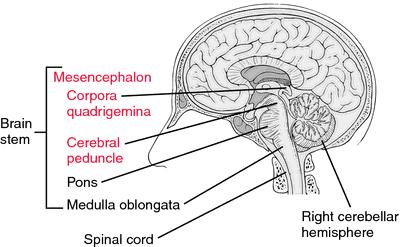 Mesencephalon Definition Of Mesencephalon By Medical