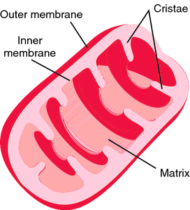 mitochondria definition of mitochondria by medical dictionary