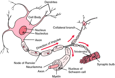 Myelin definition of myelin by medical dictionary ccuart Gallery