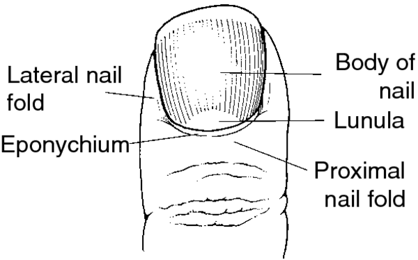 Nail Definition Of Nail By Medical Dictionary