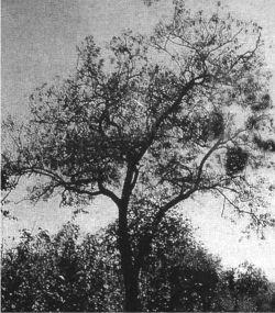 Acacia Catechu Definition Of Acacia Catechu By Medical Dictionary