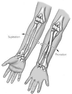 Pronation | definition of pronation by Medical dictionaryPronation Hand