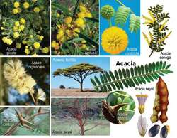Acacia Catechu Article About Acacia Catechu By The Free Dictionary