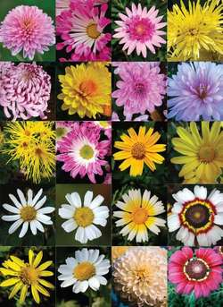 Flowers Mums Types Best Flowers And Rose 2017