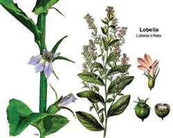 Lobelia Article About Lobelia By The Free Dictionary
