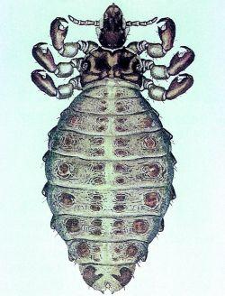 Haematopinus Suis