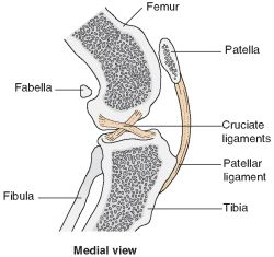 Stifle joint | definition of stifle joint by Medical dictionary