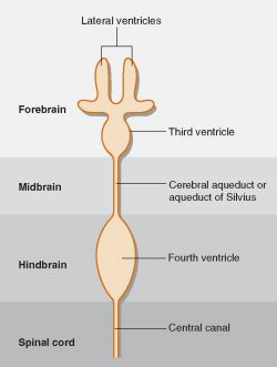 Fourth ventricle boundaries in dating