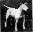 bull terrier - a powerful short-haired terrier originated in England by crossing the bulldog with terriers