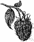 rubus - large genus of brambles bearing berries