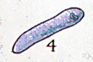 gregarine - vermiform protozoans parasitic in insects and other invertebrates