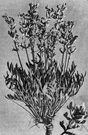 genus Oxytropis - large widely-distributed genus of evergreen shrubs or subshrubs having odd-pinnate leaves and racemose or spicate flowers each having a pea-like corolla with a clawed petal