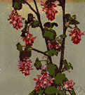 ribes - a flowering shrub bearing currants or gooseberries