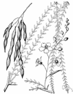 horsebean - large shrub or shrubby tree having sharp spines and pinnate leaves with small deciduous leaflets and sweet-scented racemose yellow-orange flowers
