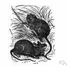European wood mouse - nocturnal yellowish-brown mouse inhabiting woods and fields and gardens