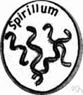 spirillum - spirally twisted elongate rodlike bacteria usually living in stagnant water