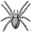 Aranea - a genus of orb-weaving spiders including common garden spiders and barn spiders