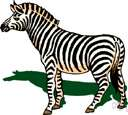 zebra - any of several fleet black-and-white striped African equines