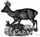 roe deer - small graceful deer of Eurasian woodlands having small forked antlers