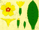 primrose - any of numerous short-stemmed plants of the genus Primula having tufted basal leaves and showy flowers clustered in umbels or heads