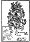 hickory tree - American hardwood tree bearing edible nuts
