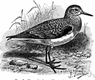 Calidris - a genus of Scolopacidae