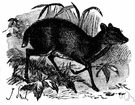 mouse deer - very small hornless deer-like ruminant of tropical Asia and west Africa
