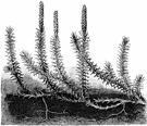 genus Lycopodium - type and sole genus of the Lycopodiaceae