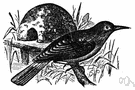 Furnarius - type genus of the family Furnariidae: ovenbirds