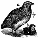 migratory quail - the typical Old World quail