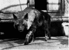 brown hyena - of southern Africa