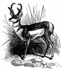 pronghorn - fleet antelope-like ruminant of western North American plains with small branched horns