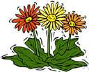 genus Gerbera - genus of South African or Asiatic herbs: African daisies