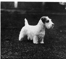 Sealyham - a wire-haired terrier with short legs that was first bred in Sealyham