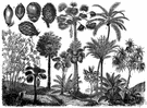talipot palm - tall palm of southern India and Sri Lanka with gigantic leaves used as umbrellas and fans or cut into strips for writing paper
