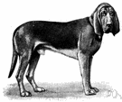 sleuthhound - a breed of large powerful hound of European origin having very acute smell and used in tracking